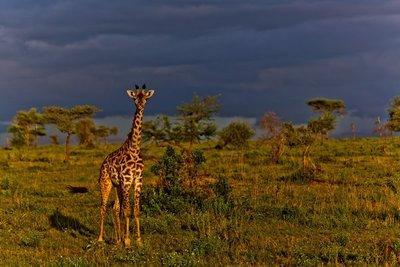 Giraffe 9-81