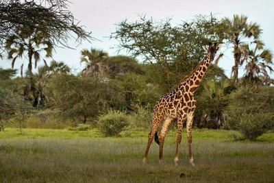 Giraffe in the grounds of Maramboi 1