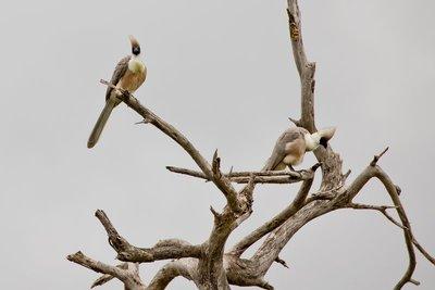 Go Away Bird, White Bellied 41