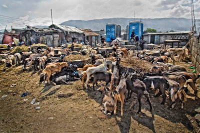 Goat and Pig Market 4