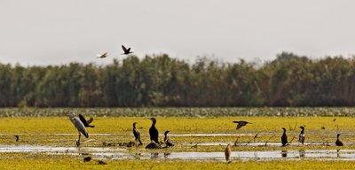 Grey Heron, Pygmy Cormorant, Great Cormorant (Squacco Heron) 1