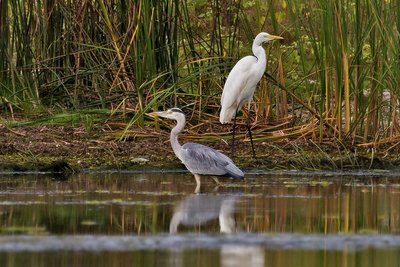 Grey Heron and Great Egret 2