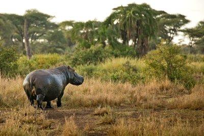 Hippo 203