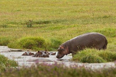 Hippo 82