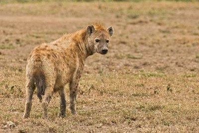 Hyena 6