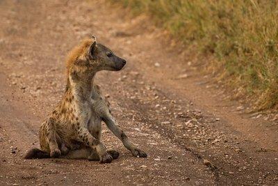 Hyena 801