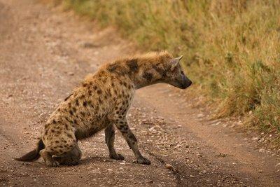 Hyena 803