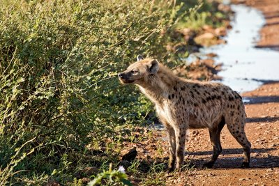 Hyenas 205