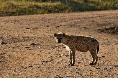 Hyenas 22