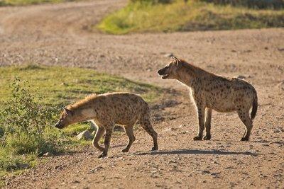 Hyenas 29