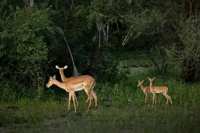 Impala in the grounds of Maramboi