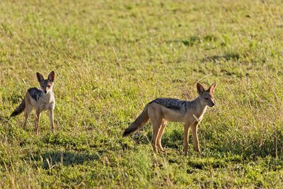 Jackal, Black Backed 10-5