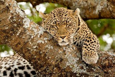 Leopard 103