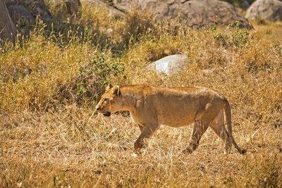 Lion 404