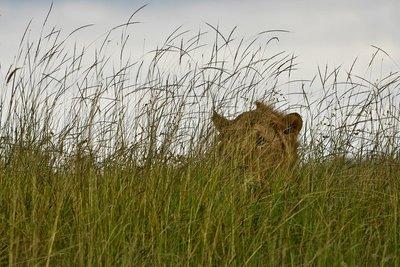 Lion 79
