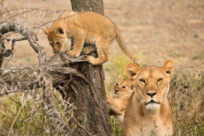 Lion Cubs 37