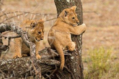 Lion Cubs 41