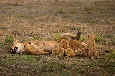 Lion Cubs 64