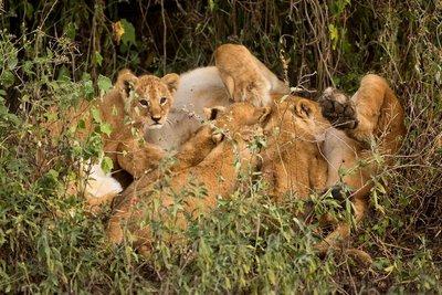 Lion Cubs 81