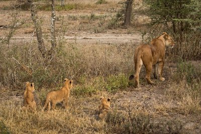 Lion Cubs 87