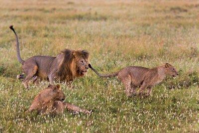 Lions 10-18