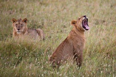 Lions 10-2