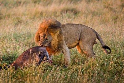 Lions 10-36