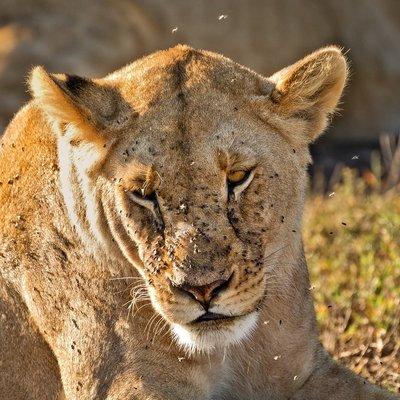 Lions 1103