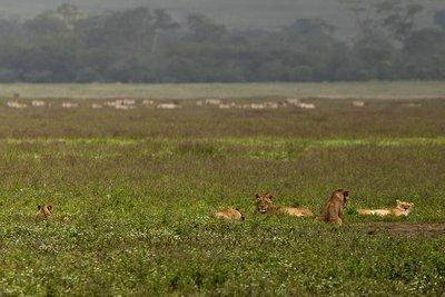 Lions 31