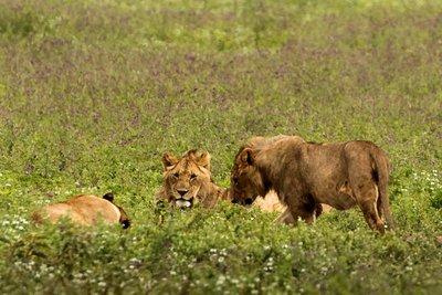 Lions 32
