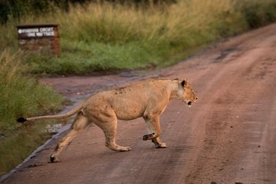 Lions 908