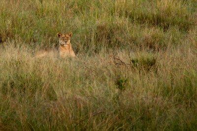 Lions 921