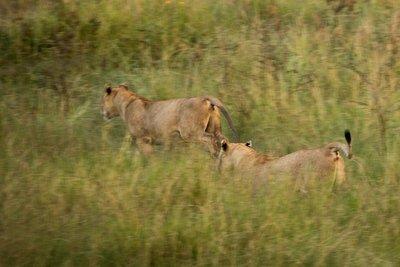 Lions 923