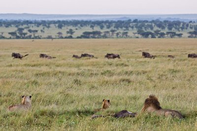 Lions and Wildebeest 10-2