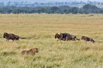 Lions and Wildebeest 10-3
