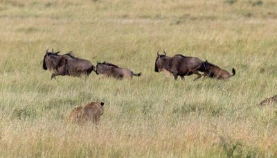 Lions and Wildebeest 10-5