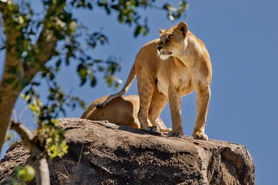 Lions of the Maasai Pride 5
