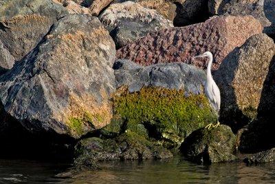 Little Egret 201
