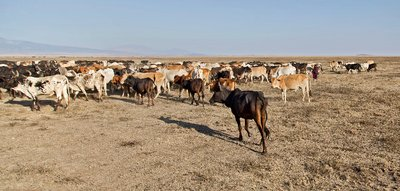 Maasai Cattle 3
