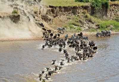 Mara River Crossing (#1) 14