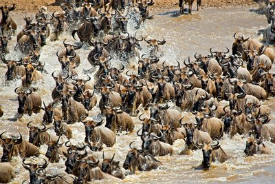 Mara River Crossing (#1) 15