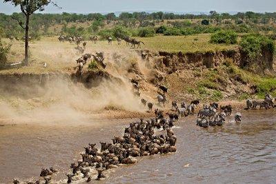 Mara River Crossing (#1) 16
