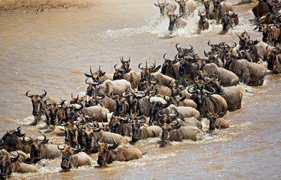 Mara River Crossing (#1) 17