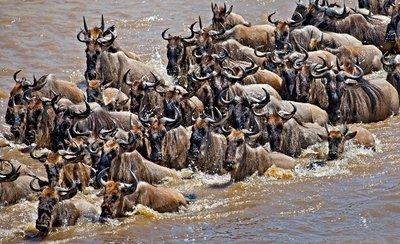 Mara River Crossing (#1) 18