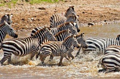 Mara River Crossing (#1) 21