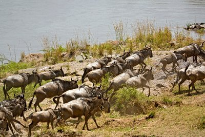 Mara River Crossing (#1) 23