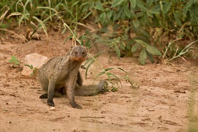 Mongoose, Banded 81