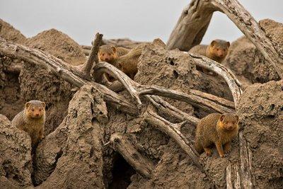 Mongoose, Dwarf 1