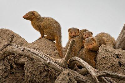 Mongoose, Dwarf 5