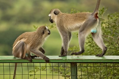 Monkey, Black Faced Vervet (at Matete Picnic Site) 14